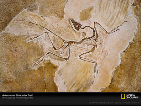 archaeopteryx lithographica - cool, animals, amazing, reptiles, prehistoric, great, dinosaurs, animal, dinosaur, reptile, nice, prehistory, jurassic, awesome, national geographic, picture, fossil, archaeopteryx, other, paleontology, photography