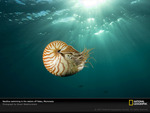 swimming nautilus