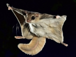flying squirrel in flight