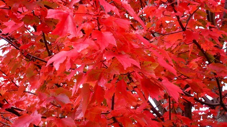 Abundance of Red - red, leaves, widescreen, autumn, washington, fall