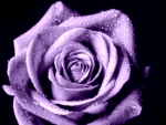 Lavender Purple Open Rose