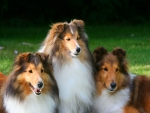 Collie trio