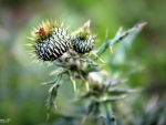 Angry Thistle