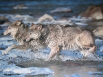 wolves running through water