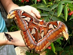 Attacus(Atlas) moth