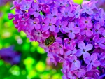 Purple Lilac Bloom