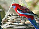Rosella on feeder