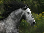 Hispano Arabian Stallion Close Up