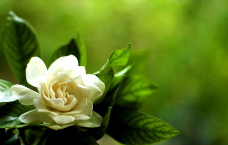 white gardenia  flowers  nature background wallpapers on desktop, Natural flower