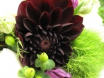 Beautiful Maroon Dahlia