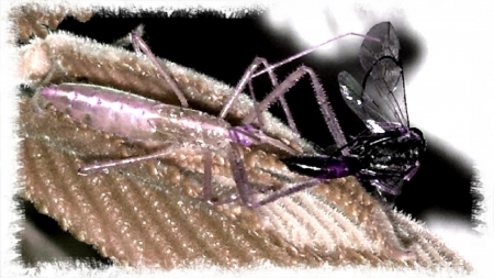 Assassin Bug 4 - bug, cool, sick, sweet, Assassin, assassin bug, lunch