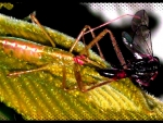 Assassin bug 5