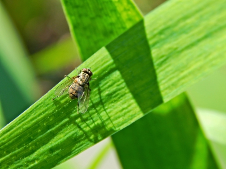 House fly - bug, green, housefly, nature, leaf