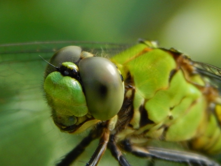 Green Eyes Dragonfly - insect, eyes, dragonfly, green, nature