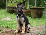 sitting German shepherd pup