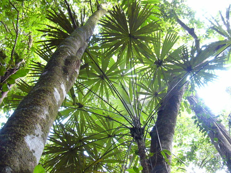 The Rain Forest - tropical, looking up, trees, palms, rainforest