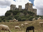 sheep grazing under almodovar castle in spain