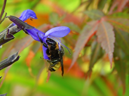 Bumble Bee and Flower - maple leaf, insect, beautiful, pretty, flower, bee, nature
