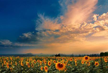Sunflower Field - field, sunflower, sunflowers, sun streaked couds