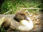 little three week old muscoy duckling