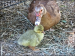 our little muscovy duck (Esther) and the little gosling (goose) she hatched