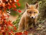 Young Fox Cub Exploring