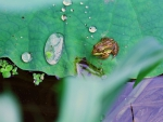 TINY FROG ON BIG LEAF