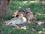 Esther the muscovy duck and her two week old gosling