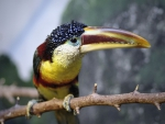 Bill the Toucan