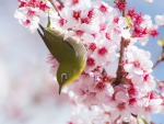 SILVEREYE ON CHERRY BLOSSOMS