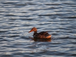duck on holms lake