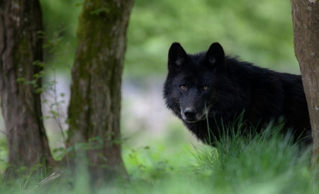 black wolf other amp animals background wallpapers on
