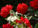 Red Summer Rose