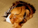 lLong haired Guinea pig