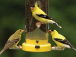 Three Goldfinch