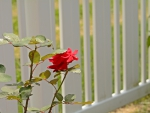 Rosy Summer Fence