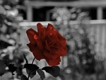 Red Monochrome Rose