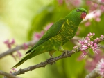 Parakeet on branch of flowering tree