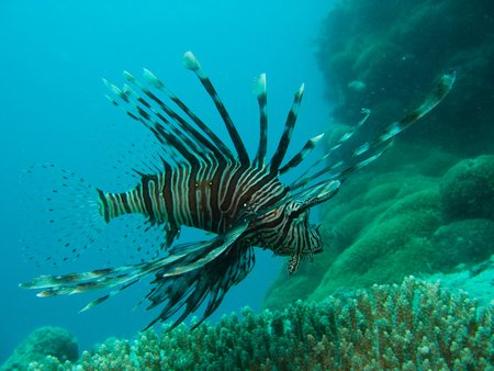 Lionfish - Great Barrier Reef - australia, ocean, lionfish, coral reef