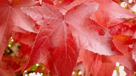 After September Shower - leaves, widescreen, foliage, washington, tree, fall, autumn