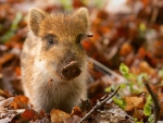 wild boar piglet in the netherlands