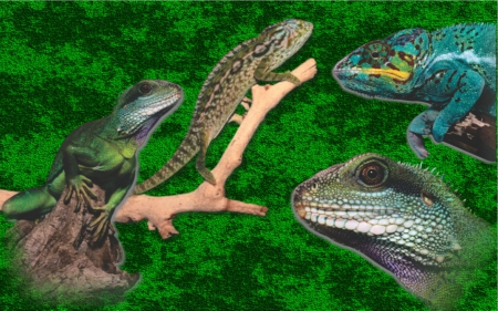 Reptiles - Jungle, Reptiles, Tree Climbers, Lizaards