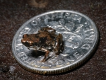 tiniest frog worldwide