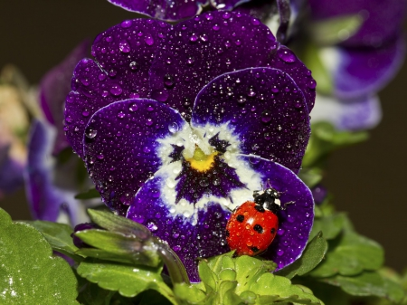 ♥ lovely pansy for my friend Andonia ♥