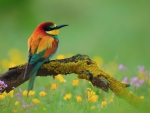 Golden Bee Eater