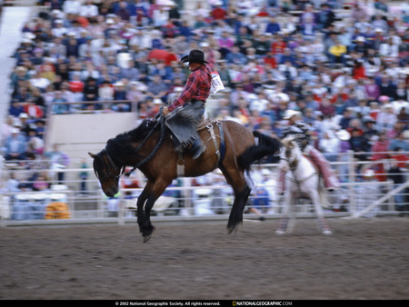 Rodeo - animals, horse, ridding horse, rodeo