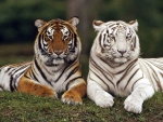 Tiger couple