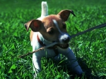 playful jack russell puppy,