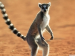 standing ring tailed lemur