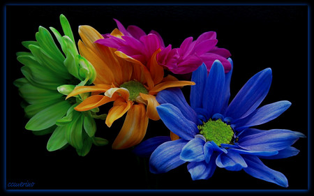 A rainbow daysies - colors, flowers